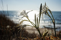 Pancratium maritimum - PhotoDune Item for Sale