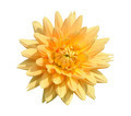 Dahlia, isolated - PhotoDune Item for Sale