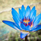 beautiful blue waterlily - PhotoDune Item for Sale