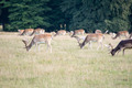 Fallow deers grazing - PhotoDune Item for Sale