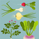 Growing Root Vegetables with Greens Collection - GraphicRiver Item for Sale
