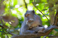 Long-tailed Macaque Monkey - PhotoDune Item for Sale