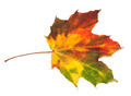 Multicolor autumn maple-leaf - PhotoDune Item for Sale