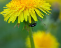 Beetle on flower of dandelion - PhotoDune Item for Sale