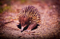 Echidna - PhotoDune Item for Sale