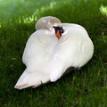 Mute swan on green grass - PhotoDune Item for Sale