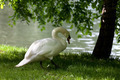 Mute swan on grass under tree - PhotoDune Item for Sale