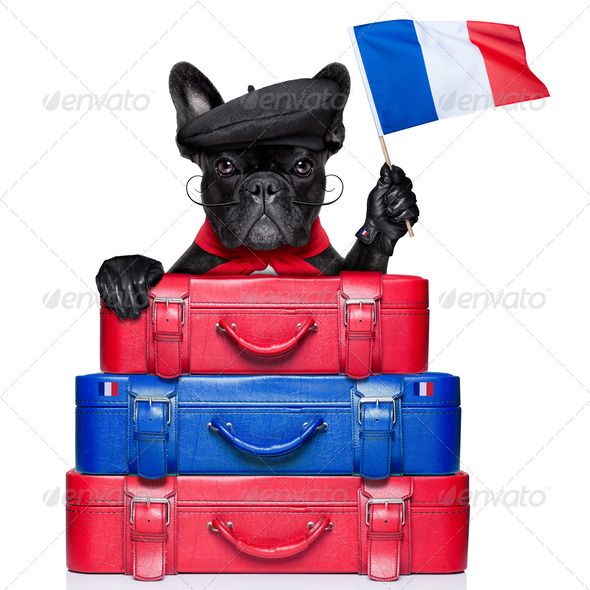 french dog - Stock Photo - Images