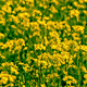 Yellow Oilseed Rape Flowers in the Field 794 - VideoHive Item for Sale