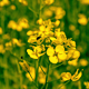 Yellow Oilseed Rape Flowers in the Field 795 - VideoHive Item for Sale