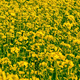 Yellow Oilseed Rape Flowers in the Field 796 - VideoHive Item for Sale