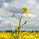 Yellow Oilseed Rape Flowers in the Field 797 - VideoHive Item for Sale