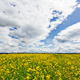 Yellow Oilseed Rape Flowers in the Field 798 - VideoHive Item for Sale