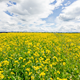 Yellow Oilseed Rape Flowers in the Field 799 - VideoHive Item for Sale