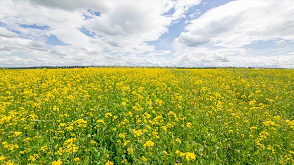 Yellow Oilseed Rape Flowers in the Field 799