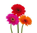 gerbera daisies - PhotoDune Item for Sale