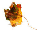 Dry autumn maple-leaf - PhotoDune Item for Sale