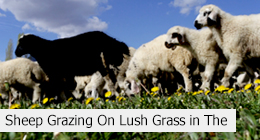 Sheep Grazing On Lush Grass in The