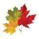Autumn Maple Leaves on a White Background - GraphicRiver Item for Sale