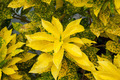 Yellow Croton in the Garden. (Codiaeum variegatum (L.) Blume) - PhotoDune Item for Sale