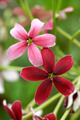 Rangoon creeper flower in garden. - PhotoDune Item for Sale
