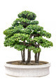 Bonsai tree against a white wall - PhotoDune Item for Sale