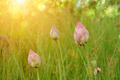 Lotus flower are blooming in the meadow - PhotoDune Item for Sale