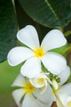 White flowers are fragrant relaxing. - PhotoDune Item for Sale