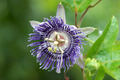 Fragrant purple flowers named Passiflora hybrid (P.alata x P.coe - PhotoDune Item for Sale