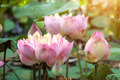 Lotus flower blooming in garden. - PhotoDune Item for Sale