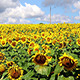 Sunflower Field - VideoHive Item for Sale