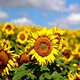 Sunflower Field In Summer - VideoHive Item for Sale