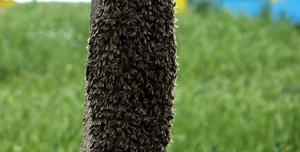 Swarm of Bees 1