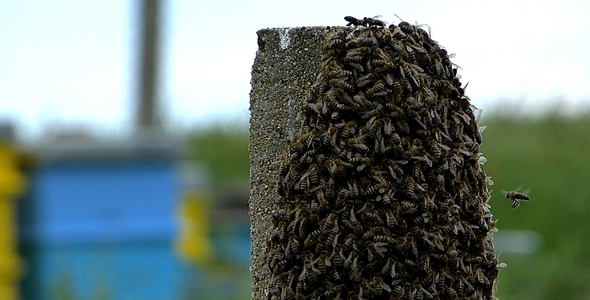Swarm of Bees 5