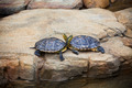 Turtles couple on a stone - PhotoDune Item for Sale
