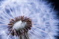 Dandelion with seeds - PhotoDune Item for Sale