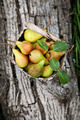 Fresh pears - PhotoDune Item for Sale