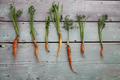 Carrots - PhotoDune Item for Sale