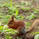 A squirrel eating the nut - PhotoDune Item for Sale