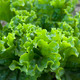 Butter lettuce - PhotoDune Item for Sale