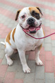 domestic dog English Bulldog breed - PhotoDune Item for Sale