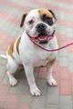 domestic dog English Bulldog breed - PhotoDune Item for Sale