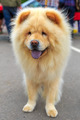 Cream dog Chow-Chow breed - PhotoDune Item for Sale