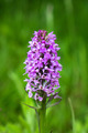 Marsh Orchid - PhotoDune Item for Sale