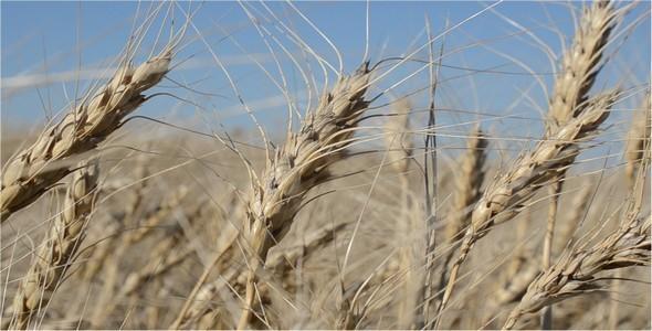 Wheat 8