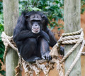 Chimpanzee - PhotoDune Item for Sale