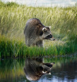 Raccoon  On Grassy Bank - PhotoDune Item for Sale