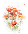 Watercolor Image Of  Red Poppy Flowers - PhotoDune Item for Sale