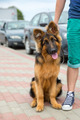 domestic dog German Shepherd breed - PhotoDune Item for Sale