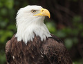 bald eagle - PhotoDune Item for Sale